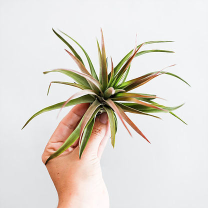 September Air Plant - Tillandsia Velutina