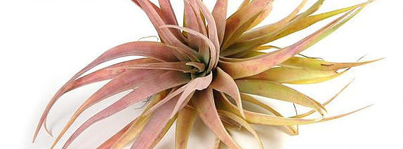 January Air Plant - Assorted Tillandsia Capitia