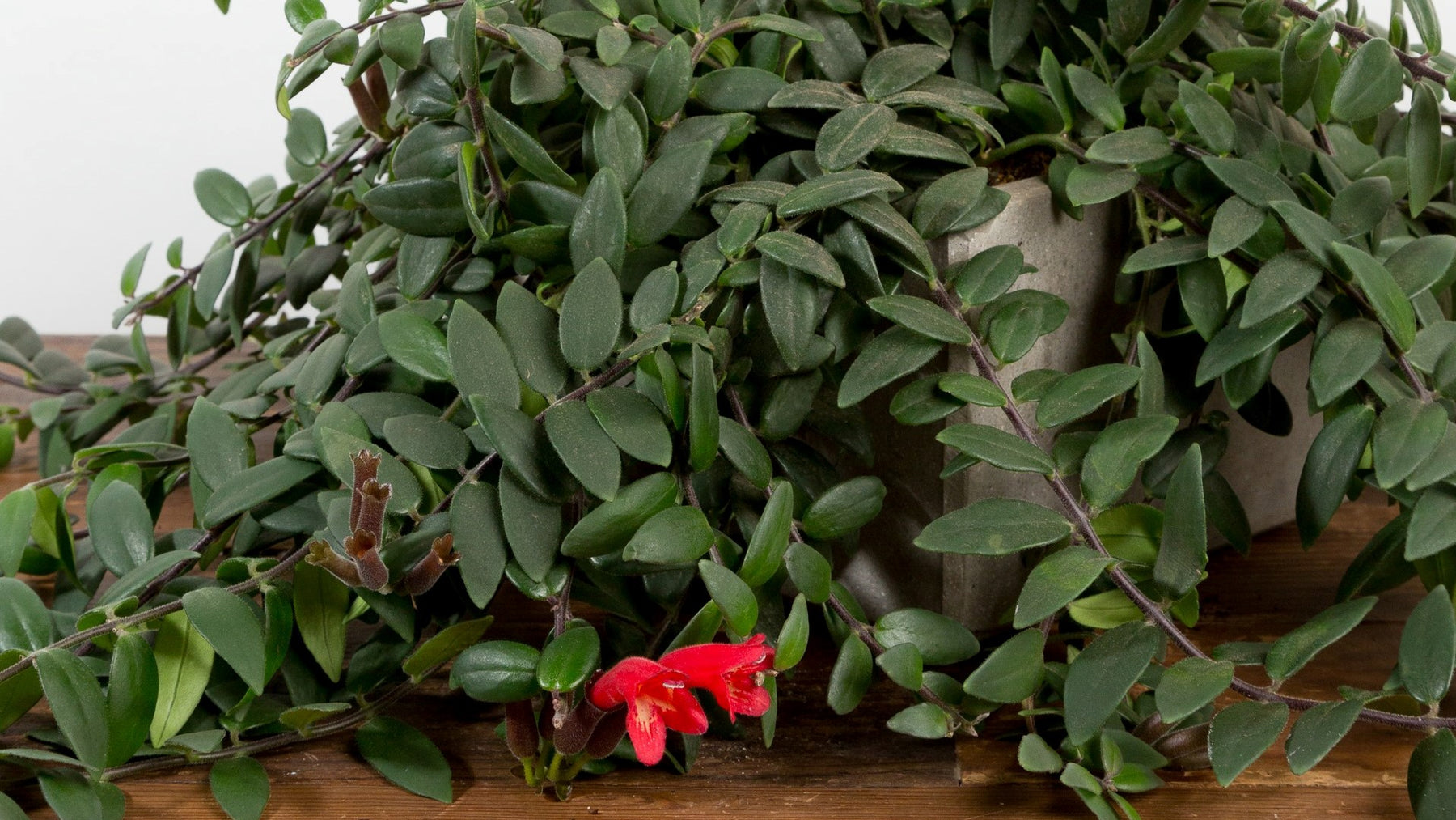 All About Lipstick Plants
