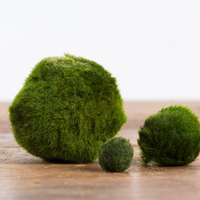 All About Marimo