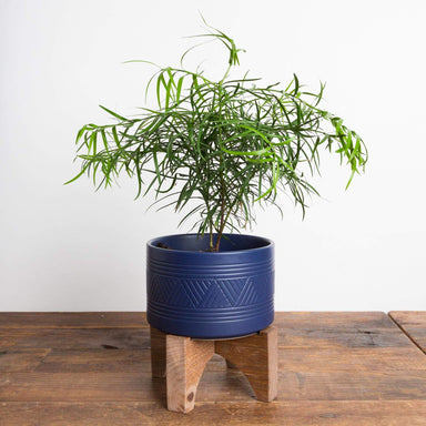 Pine 'Fern' - Urban Sprouts