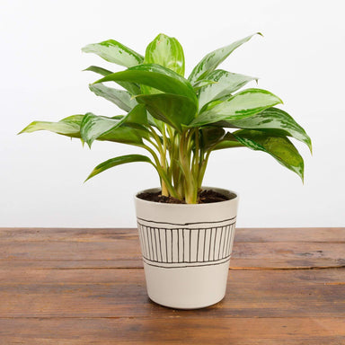 Chinese Evergreen 'Emerald Bay' - Urban Sprouts