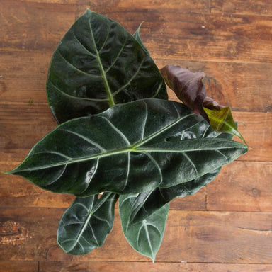 Elephant Ear 'Morocco' - Urban Sprouts