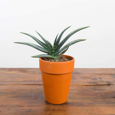 Aloe 'Book' - Urban Sprouts