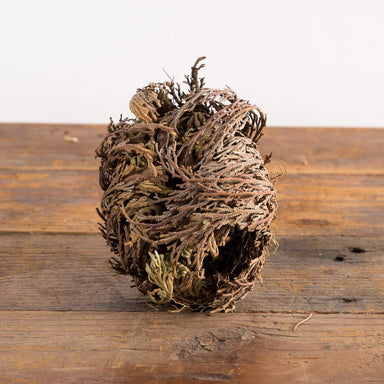 Rose Of Jericho - Urban Sprouts