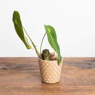 "Anthurium Metallicum 4"" - Urban Sprouts"