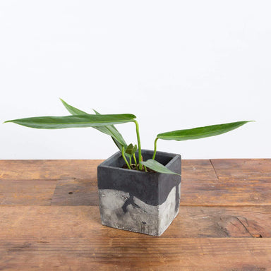 "Anthurium Pendulifolium 4"" - Urban Sprouts"