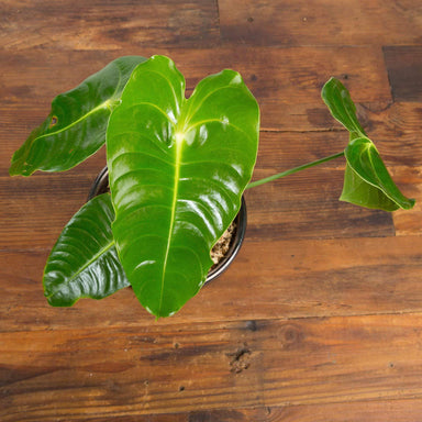 "Anthurium Veitchii 6"" - Urban Sprouts"