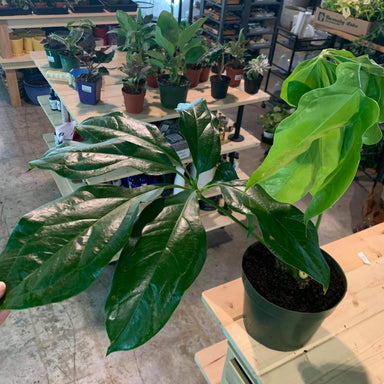 "Anthurium Clavigerum 8"" - Urban Sprouts"