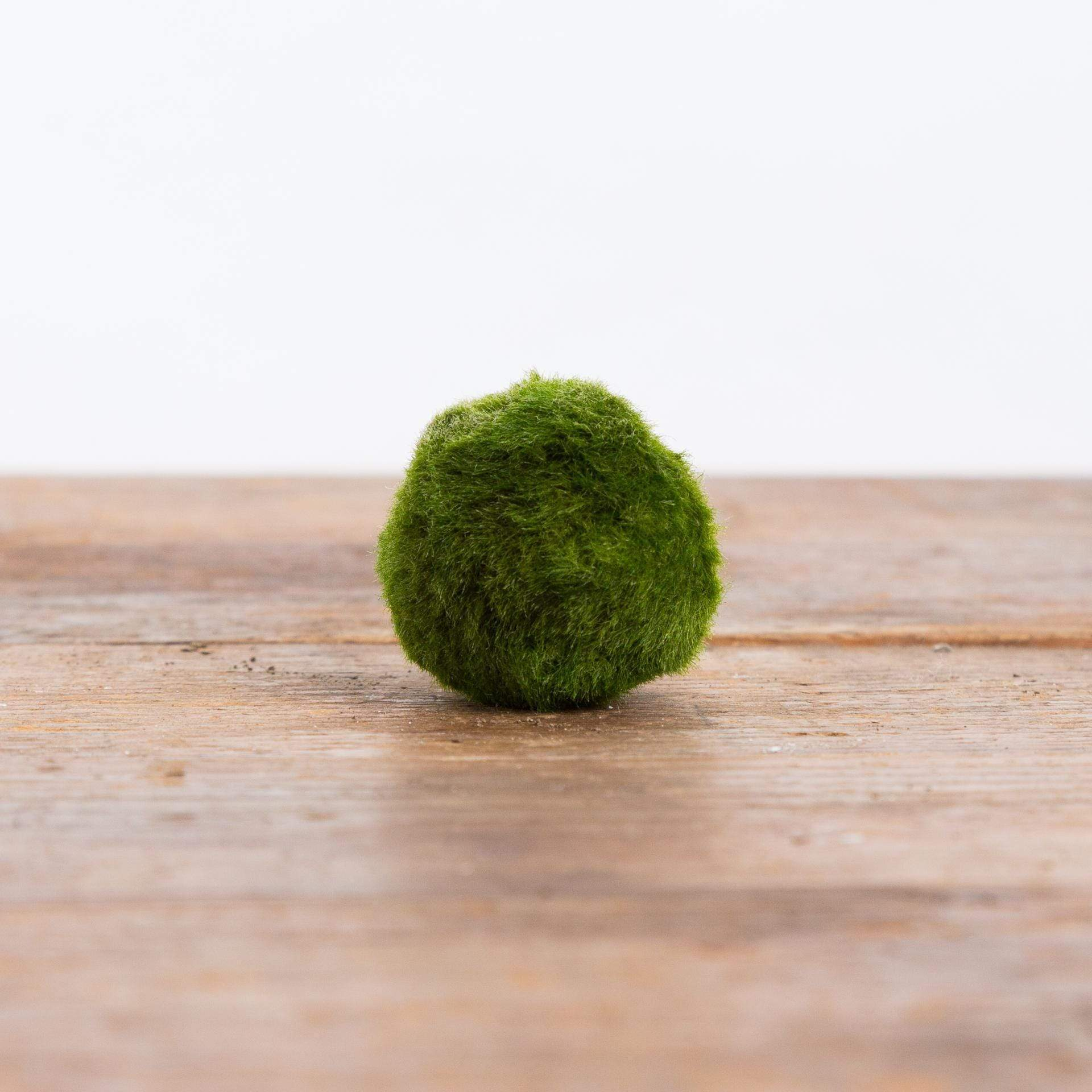 Marimo - Urban Sprouts