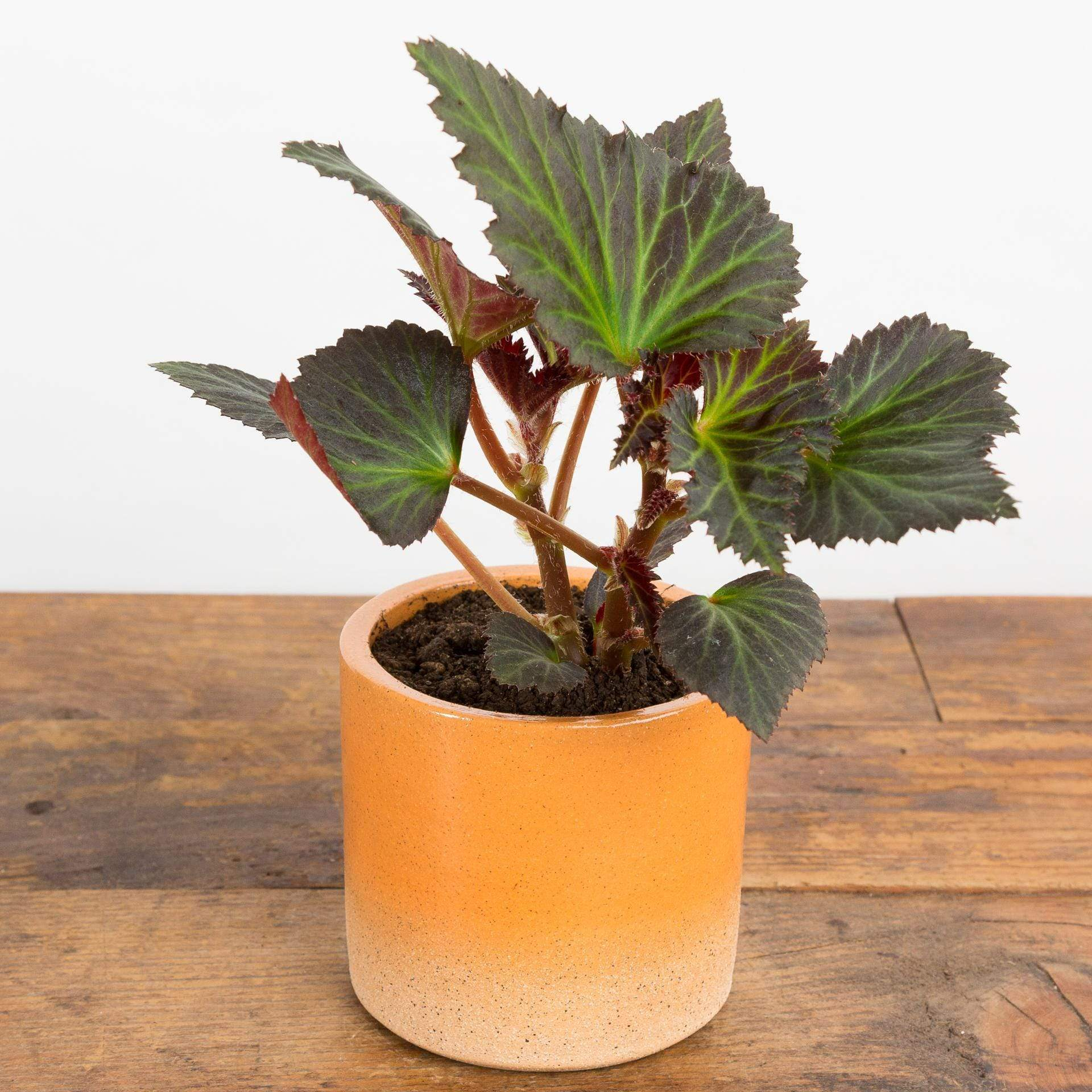 Begonia 'Portofino Hot Orange' - Urban Sprouts