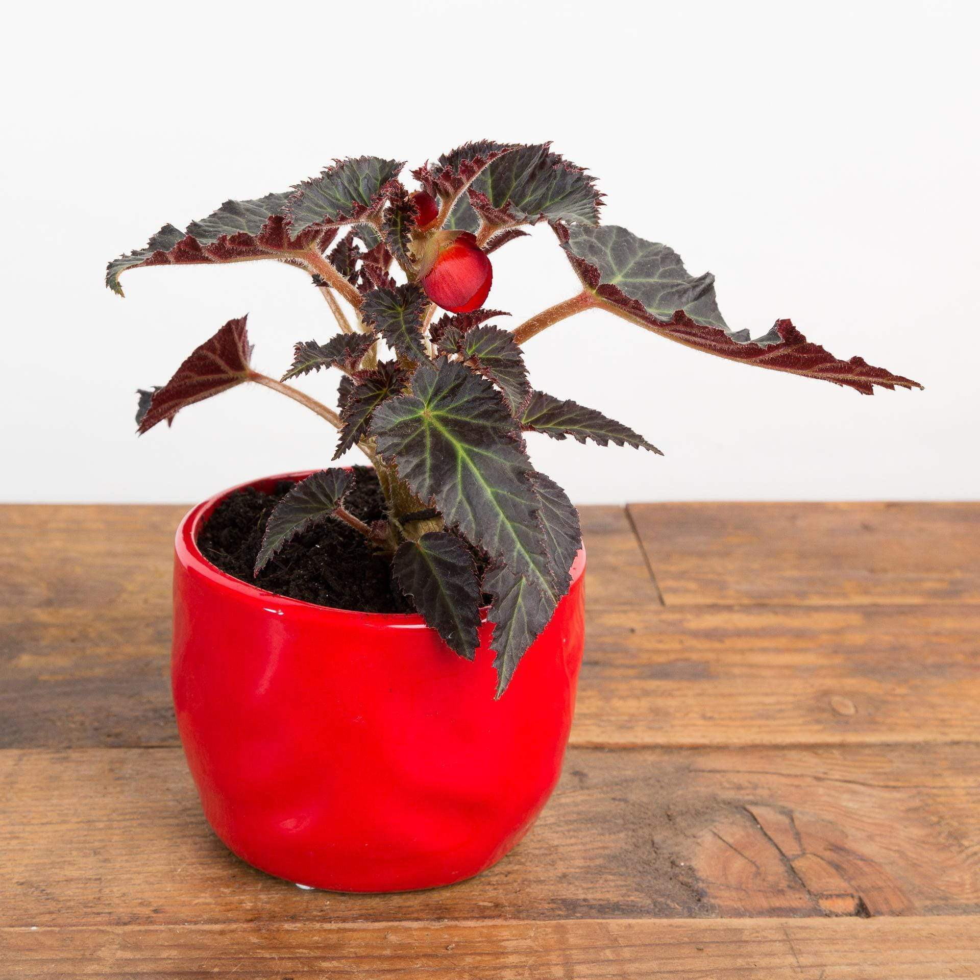 "Begonia 'Unbelievable Red' 4"" - Urban Sprouts"