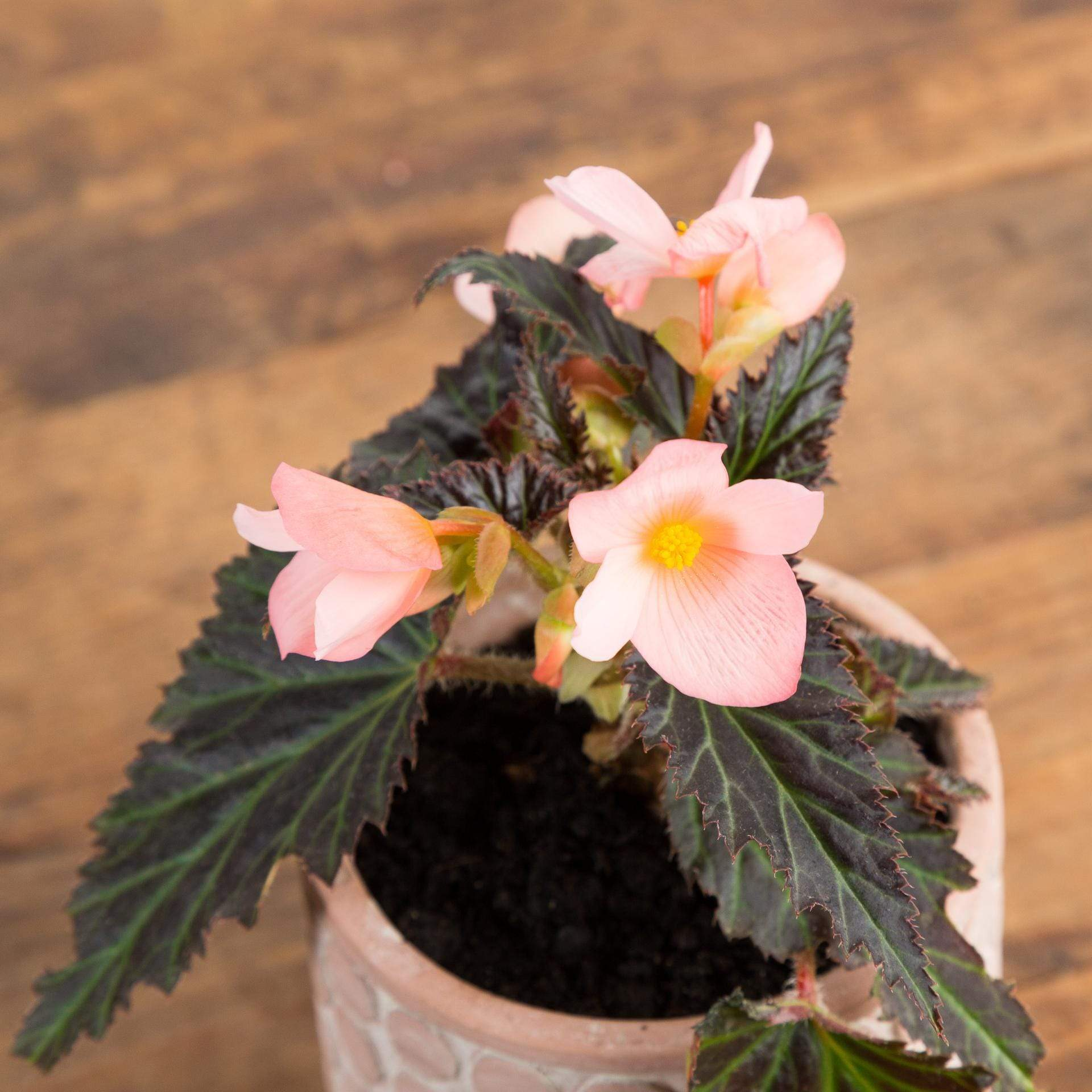 "Begonia 'Unstoppable Upright Salmon' 4"" - Urban Sprouts"