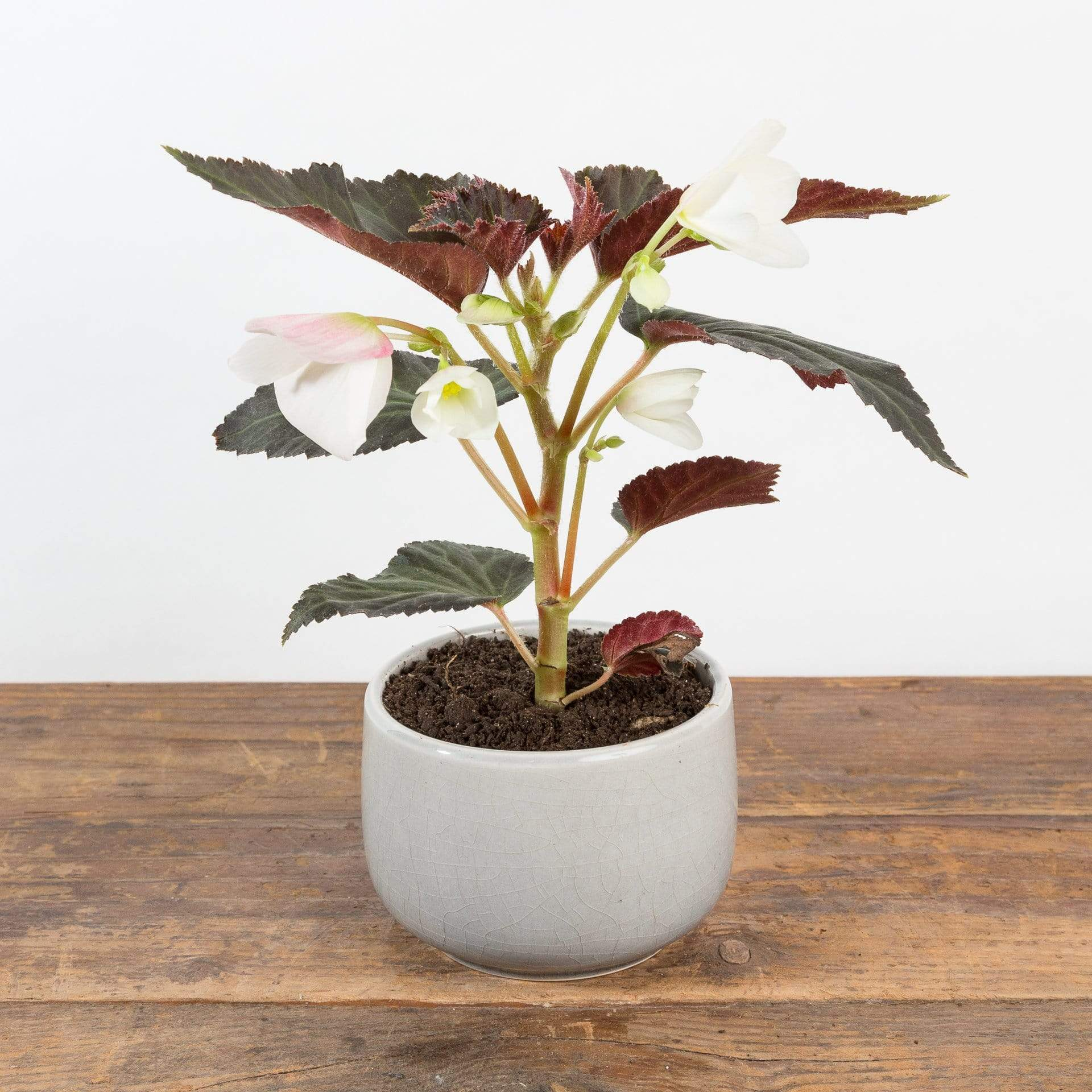 "Begonia 'Upright White' 4"" - Urban Sprouts"