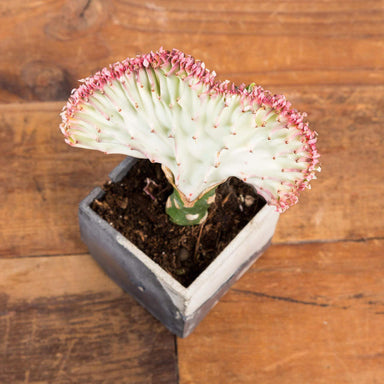 Cactus 'Coral - Grafted' - Urban Sprouts