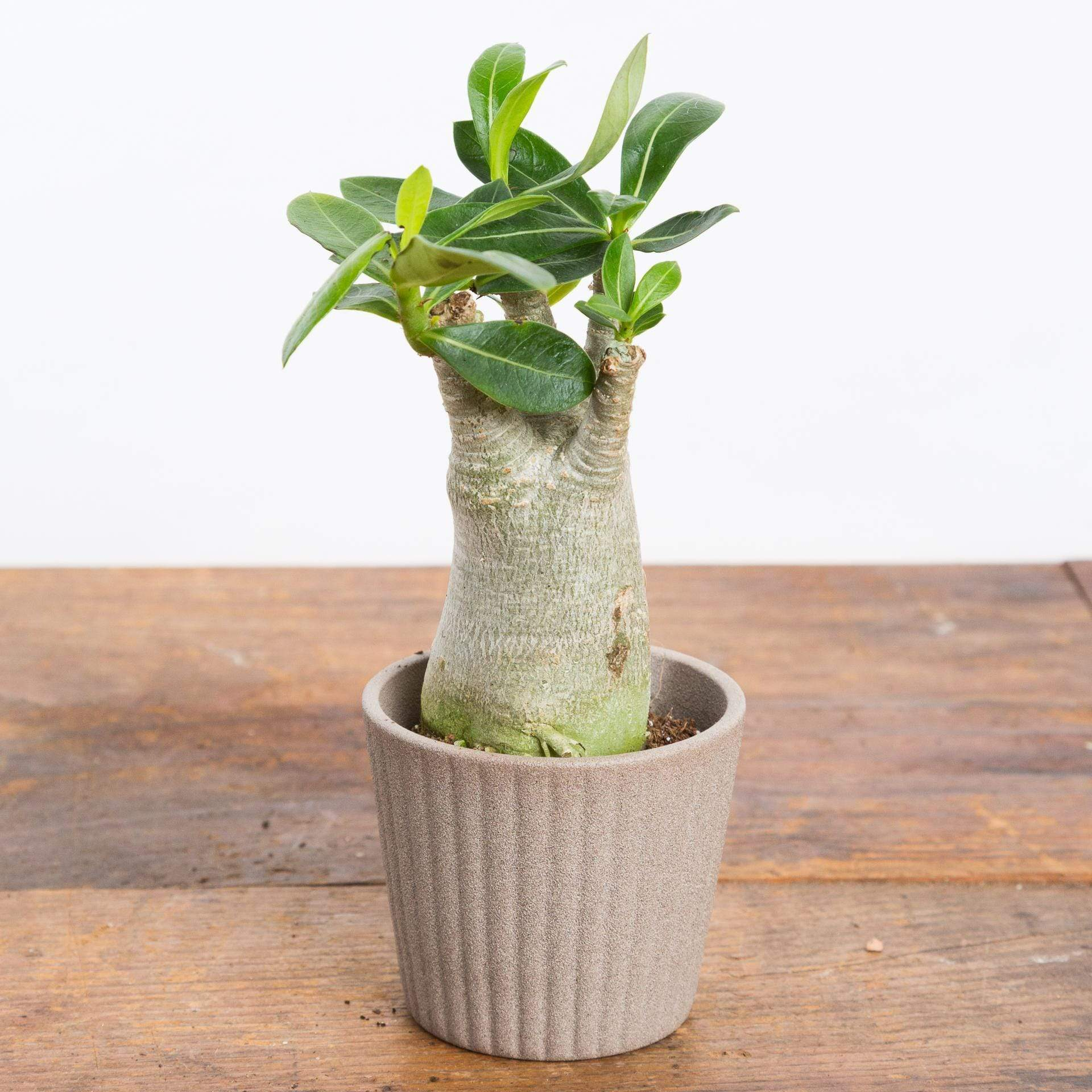 Desert Rose - Urban Sprouts
