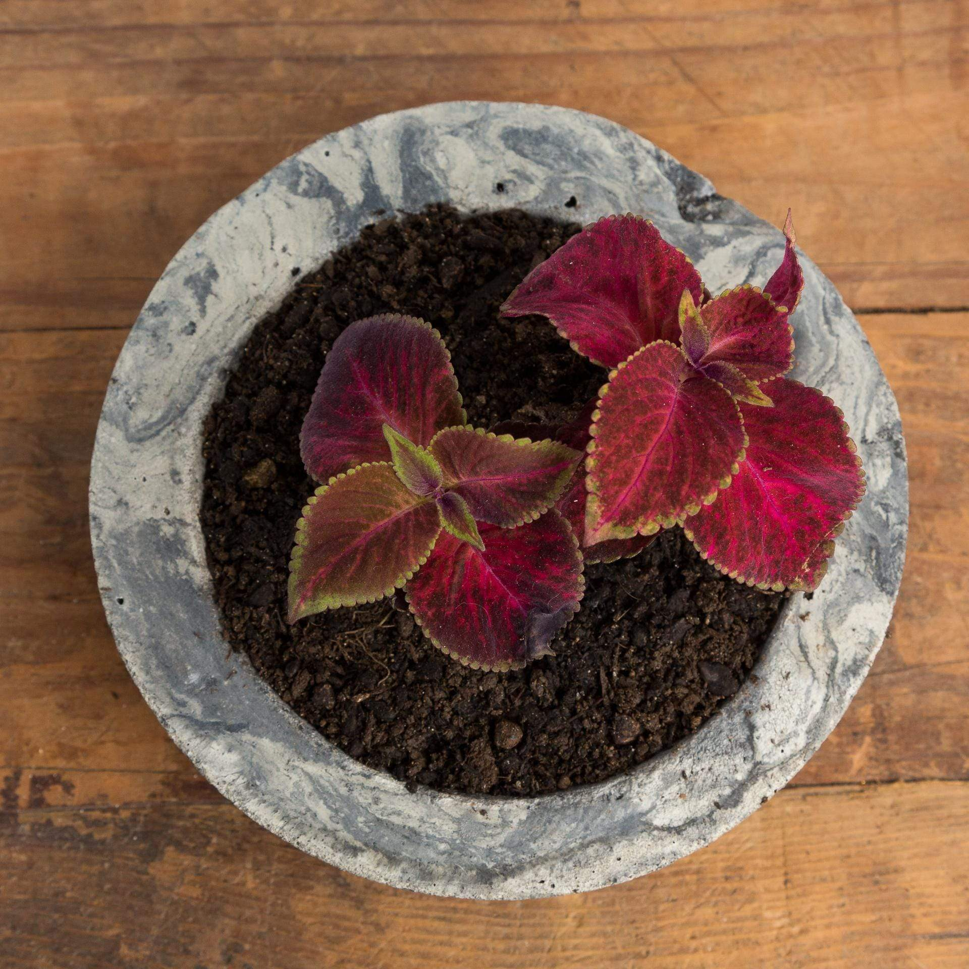 Coleus 'Wizard Sun Velvet Red' - Urban Sprouts