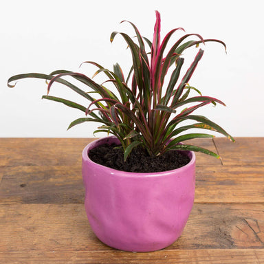Ti Plant 'Fairchild Red - Dwarf' - Urban Sprouts