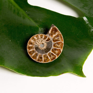 Urban Sprouts Crystal Shell Fossil - Ammonite Polished Half