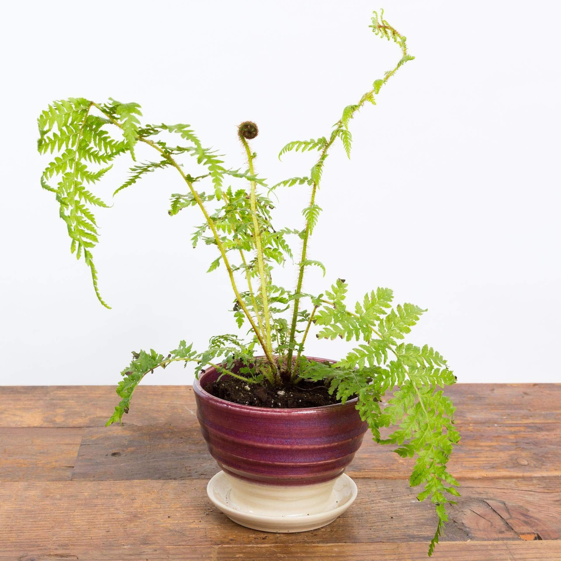 Fern 'Australian Tree' - Urban Sprouts