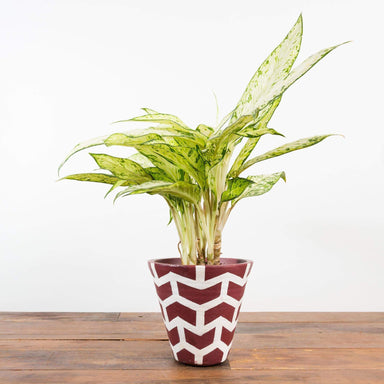 Dumb Cane 'Star Bright' - Urban Sprouts