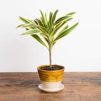 "Dragon Tree 'Song Of India - Variegated' 4"" - Urban Sprouts"