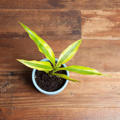 Dragon Tree 'Ribbon Plant  - Golden' - Urban Sprouts