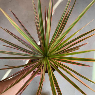 Dragon Tree 'Pink' - Urban Sprouts