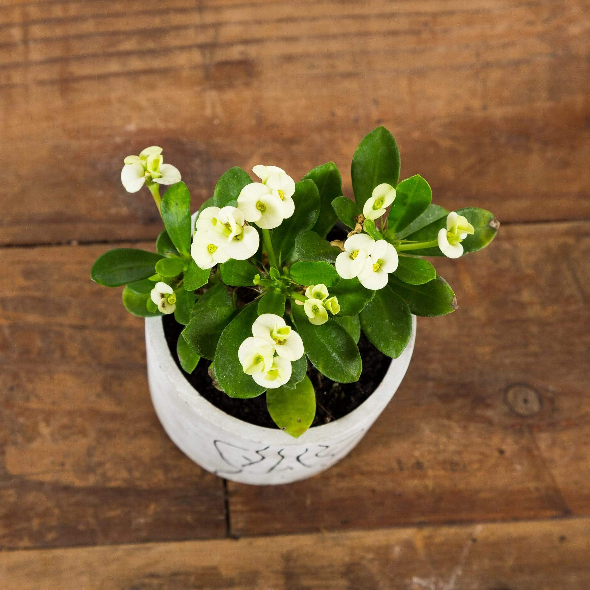 Crown Of Thorns 'Mini White' - Urban Sprouts