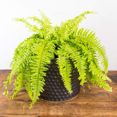 "Fern 'Boston - Golden' 10"" - Urban Sprouts"