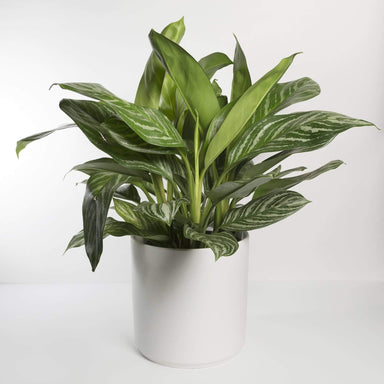 Chinese Evergreen 'Stripes' - Urban Sprouts