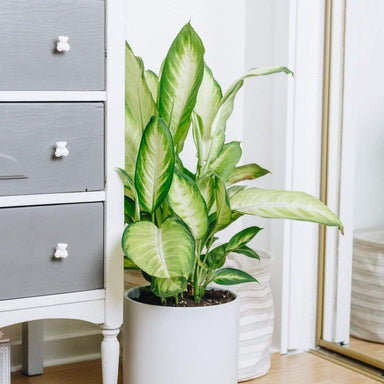 "Dumb Cane 'Camille' 10"" - Urban Sprouts"