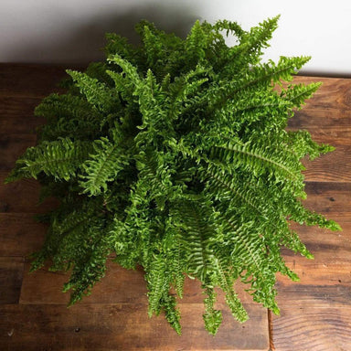 "Fern 'Boston - Fishtail' 10"" - Urban Sprouts"