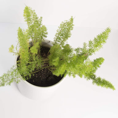 "Urban Sprouts Floor Plant 10"" in nursery pot Fern 'Foxtail' 10"""