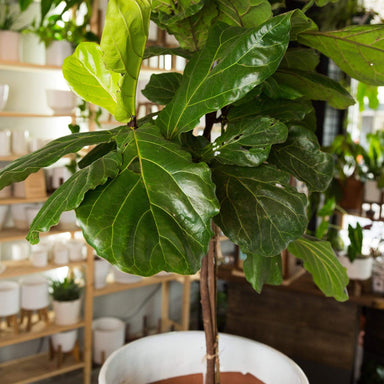"Fig 'Fiddle Leaf' 10"" - Urban Sprouts"