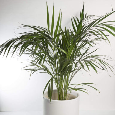 "Palm 'Areca' 10"" - Urban Sprouts"