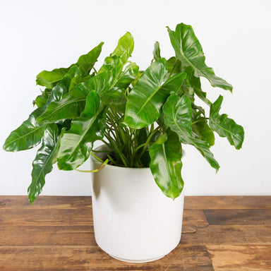 "Philodendron 'Burle Marx' 10"" - Urban Sprouts"