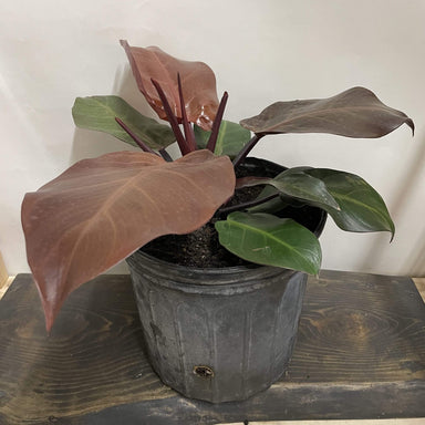 "Urban Sprouts Floor Plant 10"" in nursery pot Philodendron 'Mccolley's Finale' Floor Plant"