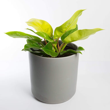 "Urban Sprouts Floor Plant 10"" in nursery pot Philodendron 'Moonlight' Floor Plant"