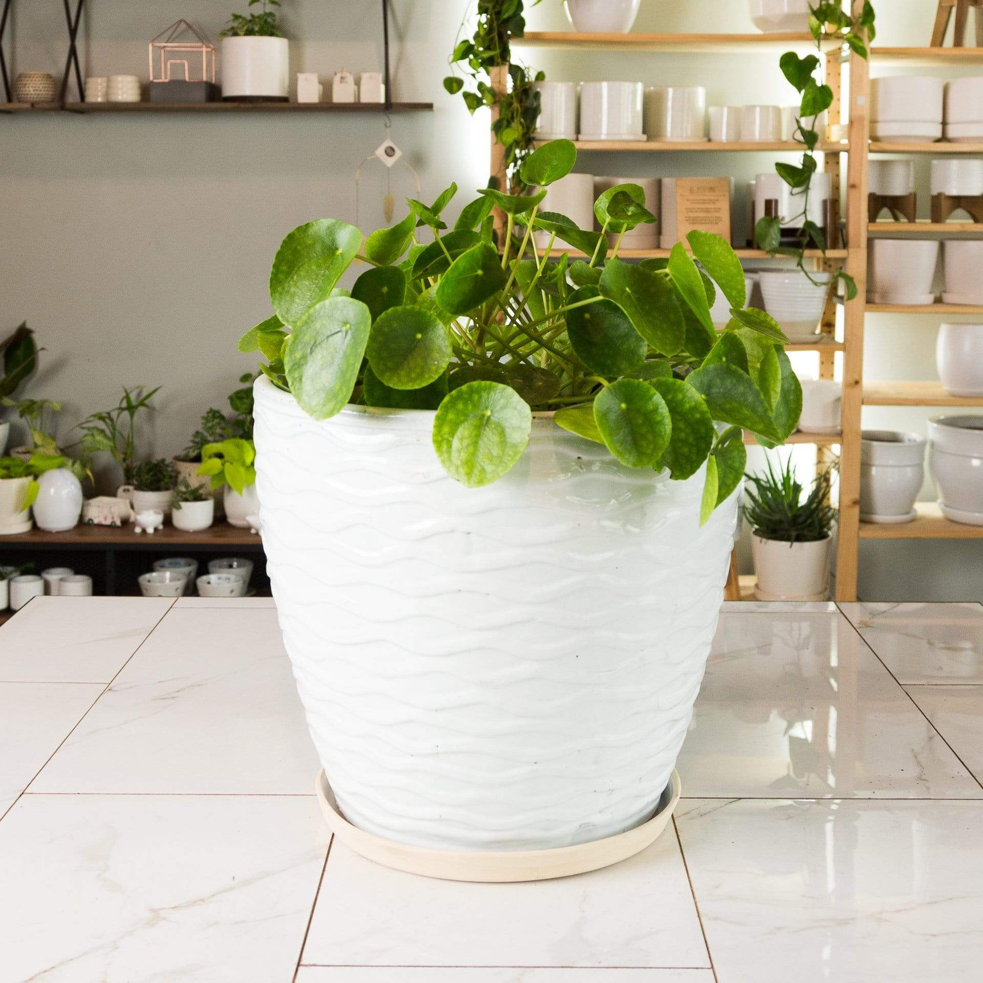 "Pilea 'Money Plant'10"" - Urban Sprouts"