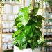 "Pothos 'Golden'  w/ pole 3' 10"" - Urban Sprouts"