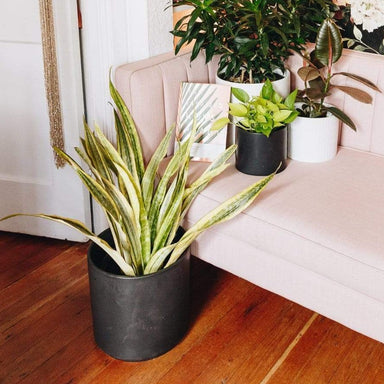 "Urban Sprouts Floor Plant 10"" in nursery pot Snake Plant 'Yellowstone' Floor Plant"