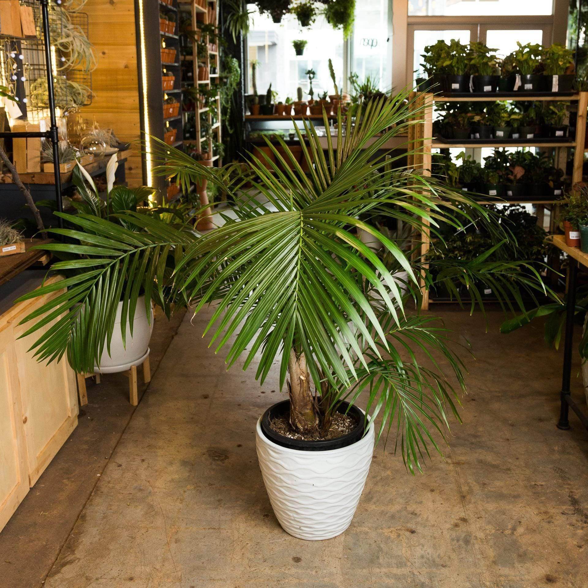 "Urban Sprouts Floor Plant 12"" in nursery pot Palm 'Majesty' Floor Plant"