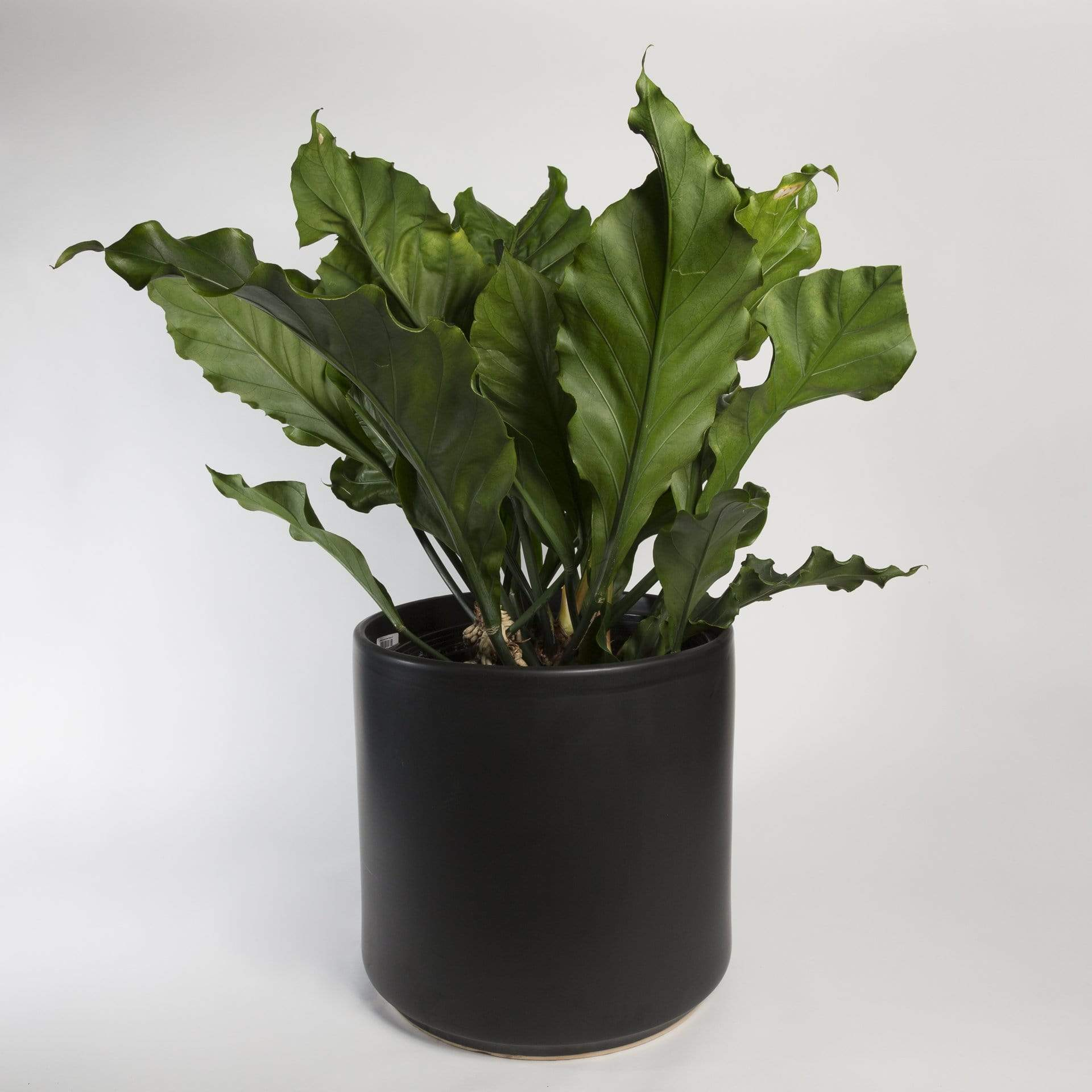 "Urban Sprouts Floor Plant 14"" in nursery pot Anthurium 'Fruffles' 14"""