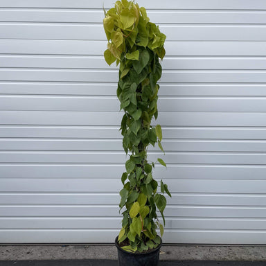 Pothos 'Lemon Lime' Floor Plant - Urban Sprouts