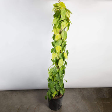 "Urban Sprouts Floor Plant 14"" in nursery pot Pothos 'Lemon Lime' Floor Plant"