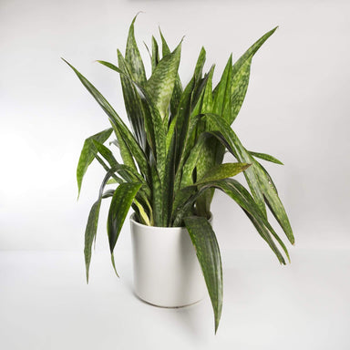 "Snake Plant 'Danish Crown' 14"" - Urban Sprouts"