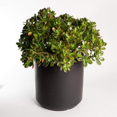 Urban Sprouts Floor Plant Jade 'Hummel's Sunset' Floor Plant