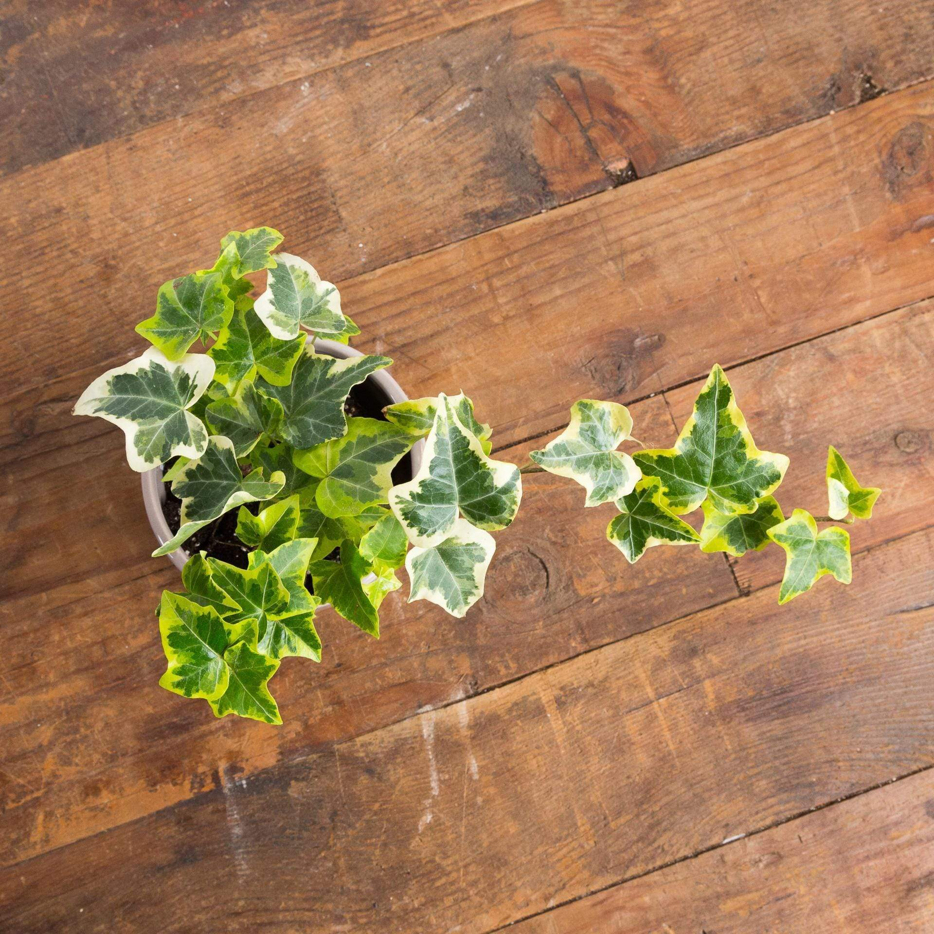 English Ivy 'Variegated' - Urban Sprouts