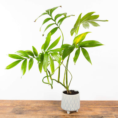"Monstera 'Subpinnata' 4"" - Urban Sprouts"